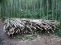 Bambou Pubescens